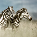 Two zebras in the savannah, Serengeti, Africa
