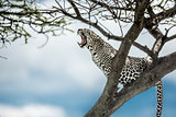 Leopard yelling on a tree in Serengeti National Park
