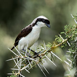 Northern white-crowned shrike perched on a acacia