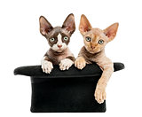 Devon rex getting out of a hat isolated on white