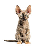 Devon rex cat sitting isolated on white