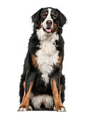 Bernese Mountain Dog sitting and panting, isolated on white