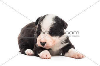 21 days old crossbreed puppy lying down isolated on white