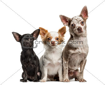 Group of Chihuahuas sitting together, isolated on white