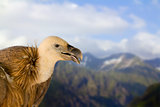 young redhead griffin bird wildlife sitting stands on against high mountains and blue sky