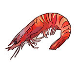 cooked uncooked shrimp