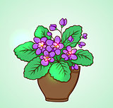 Blooming violets in a flowerpot