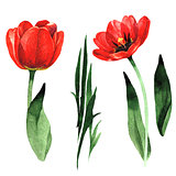 Wildflower tulip flower in a watercolor style isolated.