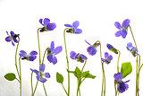Viola odorata flowers