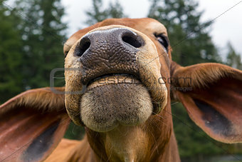 Brahman Cattle Facial Closeup