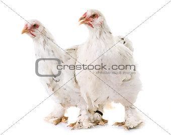 brahma chicken in studio