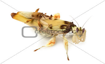 Adult male et female orchid mantis, isolated on white