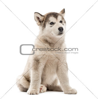 Alaskan Malamute puppy sitting isolated on white