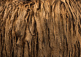 Details of a Poitou donkey dreadlocks hair