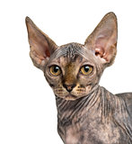 Close-up of a Sphynx kitten sitting isolated on white
