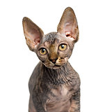 Close-up of a Sphynx kitten looking away isolated on white