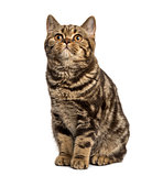 Front view of a British Shorthair sitting isolated on white