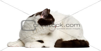 British Shorthair lying down and looking back isolated on white