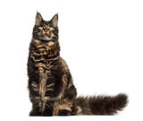 Maine Coon cat sitting and looking up isolated on white