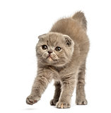 Front view of a Foldex kitten stretching isolated on white