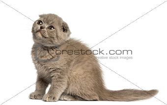 Foldex kitten looking up isolated on white