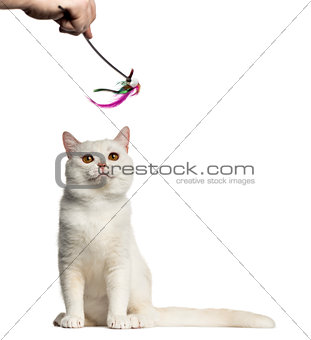 British Shorthair playing with a stick toy isolated on white