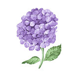Lilac hydrangea flowers isolated on white background.