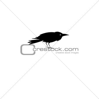 Beautiful symbol of the black Raven
