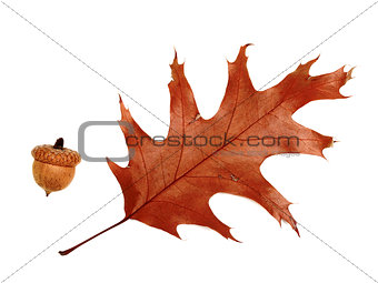Autumn dried leaf of oak and acorn