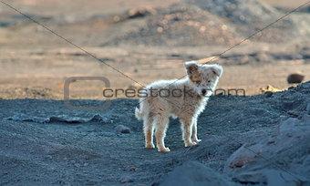 Vagabond puppy dog