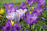 several multicoloured crocus flowers