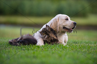 yellow Labrador puppy and maine coon kitten
