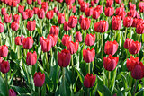 Flower tulips background. Beautiful view of red tulips under sunlight landscape in spring
