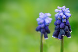 Flowers of blue hyacinth in nature.