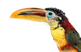 Close-up of a Curl-crested aracari, isolated on white