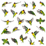 Collection of Yellow-collared lovebirds flying, isolated on whit