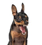 Close-up of a Miniature Pinscher barking,1 year old, isolated on
