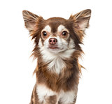 Close-up of a Chihuahua 2 years old, isolated on white