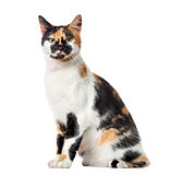 American Polydactyl sitting, 14 months old, isolated on white
