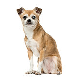 Chihuahua with eye disease sitting,12 years old, isolated on whi