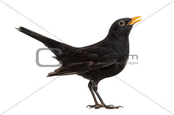 Blackbird Turdus merula , isolated on white