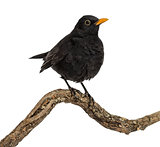 Turdus merula on a wood branch , isolated on white