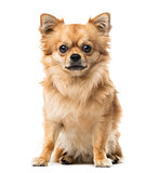 Chihuahua sitting, 2 years old , isolated on white