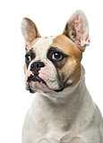 Close-up of a French Bulldog, 2 years old , isolated on white