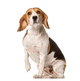 Beagle sitting and lifting paw , isolated on white