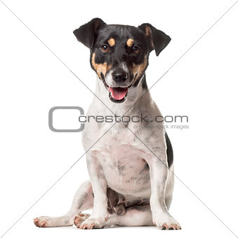 A Jack Russell sitting with mouth open, isolated on white