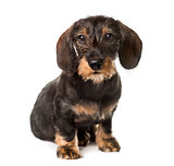 Chocolate Dachshund sitting , isolated on white