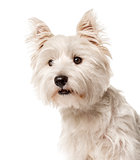Close-up of a white west highland terrier , isolated on white