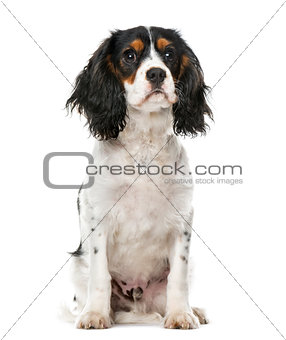 A Cavalier King Charles  sitting, isolated on white