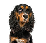Close-up of a thoughtful English Cocker Spaniel , isolated on wh